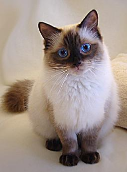 Ragdoll, Farbe: seal-colorpoint