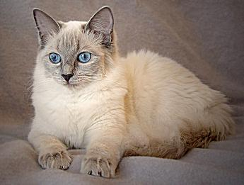 Ragdoll, Farbe: blue-colorpoint